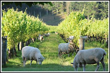 Sheep grasing in vineyards with Hawkes Bay Scenic Tours on our popular Napier Tours.